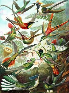 Nature Biology Bird Humming Ernst Haeckel Germany Vintage Canvas Art Print