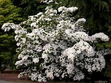 5 White Cornus KOUSA DOGWOOD TREE Flower Seeds *CombS/H