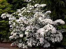 5 White Cornus Kousa Dogwood Tree Flower Seeds *CombS/H