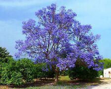 25 graines FLAMBOYANT BLEU(Jacaranda Mimosifolia)G04 GREEN EBONY SEEDS SEMILLAS