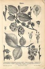 Stampa antica OLMO Ulmus minor ELM botanica 1890 Old antique print