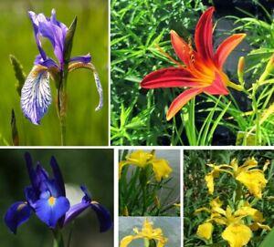 10 Teichpflanzen  WASSERREINIGEND u BLÜHEND  !