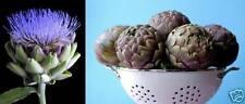 .. sukkulente lila Bunt-Artischocke Green Globe ❆ winterfestes Gemüse ❆ Samen ❆