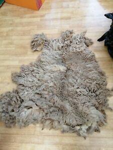 Raw Shetland sheep fleece 2021