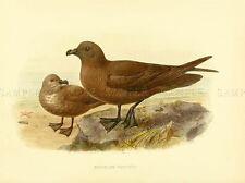 DRAWING BIRD ROWLEY KEULEMANS WHITE BREAST PETREL ART PRINT LAH358A