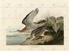 Oiseaux de l'amérique audubon Bartram bécasseau de poster print BB12463A
