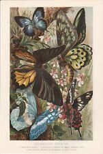 Schmetterlinge Tagfalter Lithographie von 1890 butterfly Papilio Morpho