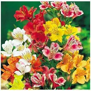 15 Seeds Alstroemeria Aurantiaca Dr Salter's Mix P - Finest - 1st Class
