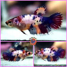 New listing Live Betta Fish Female Breeding Grade! Blue Marble Red Nemo Dragon Koi Crowntail