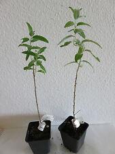 Elaeagnus angustifolia russische  Ölweide/ Olive Pflanze ca. 25 cm