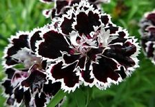 30+ Black/White Velvet Lace Carnation Flower Seeds / Perennial