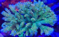 CB Creamsicle Milli Acro Acropora Frag Rare Live Coral SPS
