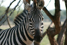 Zebra  8x10 High Quality Photo Picture