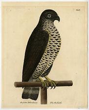 Antique Print-PIGEON HAWK-GOSHAWK-ACCIPITER PALUMBARIUS-Albin-1731