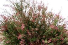 50 Seeds Salt Cedar, Tamarix ramosissima, Five-StamenTamarisk, Chinese Chinensis