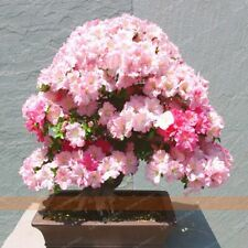 Seeds Bonsai Pink Cherry Tree DIY Home Garden Mini Bonsai Flower Easy Growing