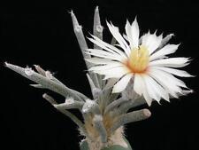 Astrophytum Caput-Medusae (3 SEEDS) Very Rare Cactus Succulent Plant Samen Korn