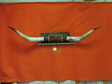 #2593 STEER Horns 6 FT 7 IN MOUNTED BULL Horns  COW TEXAS LONGHORN TAXIDERMY