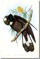 "Vintage John Gould Bird Art CANVAS PRINT~WHITE EAR BLACK COCKATOO 24""X18"""