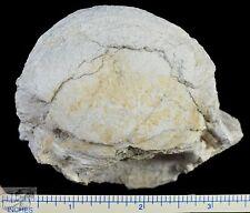 Titanothere Fossil Vertebra, Average Sized, Badlands, South Dakota, T299