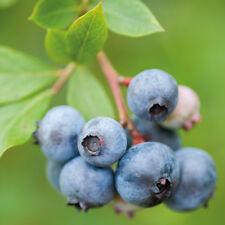 Blueberry Fruit Hardy Shrub Garden Plant 1 x 9cm Potted Berry Bush T&M