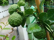 Hot Best SEEDS WITH  KAFFIR LIME LEECH LIME 20 Seeds From Thailand.