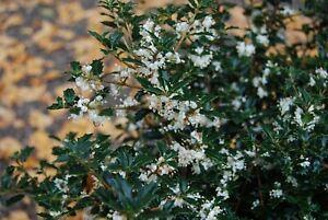 Fragrant Princess Dwarf Tea Olive ( osmanthus ) - Live Plant - Quart Pot