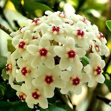 NEW 300Pcs Beautiful  Mixed Color Hoya Seeds Garden Mixing Tee
