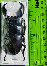 "Giant Stag Beetle Dorcus titanus yasuokai Male 85mm 3 5/16"" FAST SHIP FROM USA"