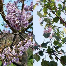100pcs Worlds Fastest Growing Tree Princess Tree Paulownia Tomentosa Seeds