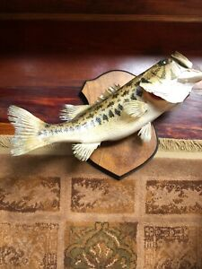 Largemouth Bass Freshwater Taxidermy Fish Mount For Sale 2 fish