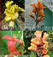 Canna Indica MIX *** indisches Blumenrohr **** 10 Samen