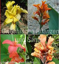 Canna varietà indica MIX *** fiori INDIANO TUBO *** 10 semi