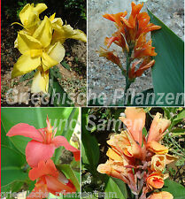 Canna indica Mix *** indio flores tubo *** 10 semillas