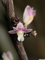 Rare orchid species seedling - Dendrobium aloifolium