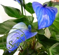 Blue Anthurium Andreanum Rare Seeds Garden Home Palm Flowers Decor Plant 100 Pcs