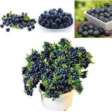 New 50Pcs Fruit Blueberry Seeds Potted  Tree Seed Bonsai Plants Home Garden