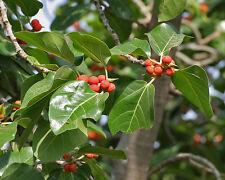 ficus benghalensis ( 20 graines)