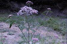 20 semillas wasserdost, Eupatorium C. #585
