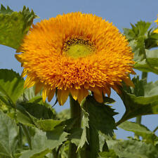 FLOWER SUNFLOWER ORANGE SUN DOUBLE 40 FINEST SEEDS