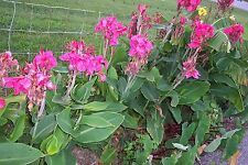 Canna Lily Seeds - CHINA DOLL - Cannaceae - Attract Hummingbirds - 10 Seeds