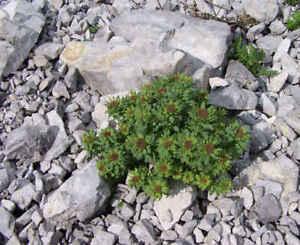 10 Rhodiola Rosea Seeds - Rose Root- Golden Root Stonecrop Succulent Herb