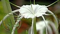 Seeds Lily Spider Rare Flowers Garden Home Decor Plants 100 Pcs