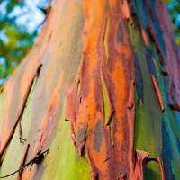 50 seeds *Eucalyptus deglupta*Rare Exotic Rainbow Eucalyptus apximate B8R5