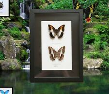 More details for real framed butterflies in black 32x24cm polished frame. high quality, free post
