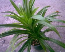 2 Pandan seedlings, Aromatic fragrant Plants, Pandanus amaryllifolius Thailand
