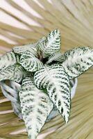 Aphelandra squarrosa'Snow White' Zebra Plant