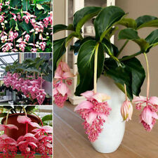 100pcs Medinilla Magnifica Malaysian Orchid Pink Plant Flower Seeds Garden Decor