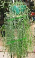 Rhipsalis Cactus Cacti Succulent - Teres R10 - Cutting (Will Combine Post!)