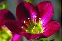 Mossy Saxifraga Highlander Red Seeds Evergreen Perennial Ground Cover Alpine